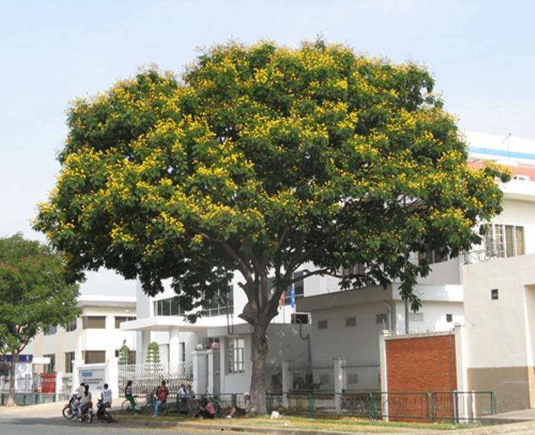 Kết quả hình ảnh cho cây lim xẹt