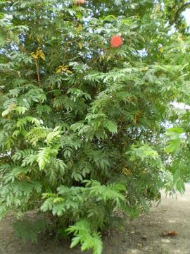 Calliandra hematocephala