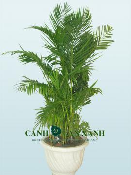 Chrysalidocarpus lutescen