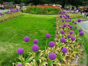 Allium giganteum flower