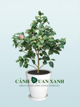 Camellia japoniaca