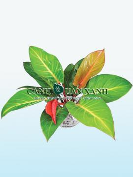 Philodendron red xanadu