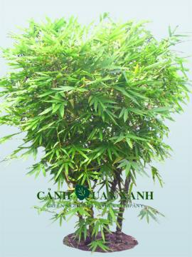 Bambusa ventricos