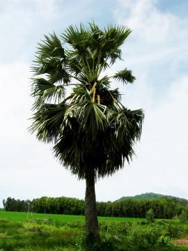 Cây thốt nốt (Borassus flabellifer)