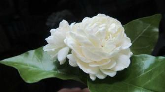 Trồng chậu hoa nhài bày nhà, vừa đẹp vừa tỏa ngát hương thơm