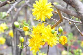 Kinh nghiệm và cách lặt lá mai Tết để hoa nở đúng dịp
